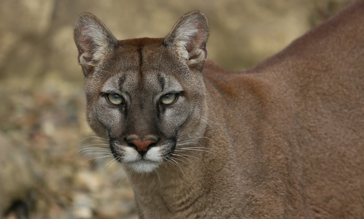 64 Best Puma Mountain Lion Images On Pinterest Big