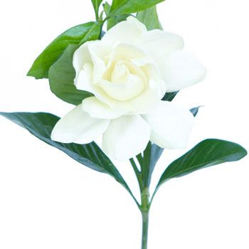 Gardenia - Another option for bud vase / apothecary bottles