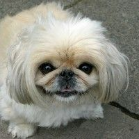 #dogalize Alimentazione del cane Pechinese: gli alimenti corretti #dogs #cats #pets