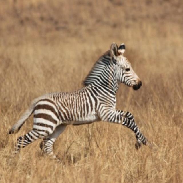 Zebra veulen