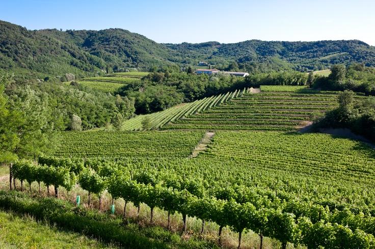 The Puiatti vineyards in Ruttars, Collio area.