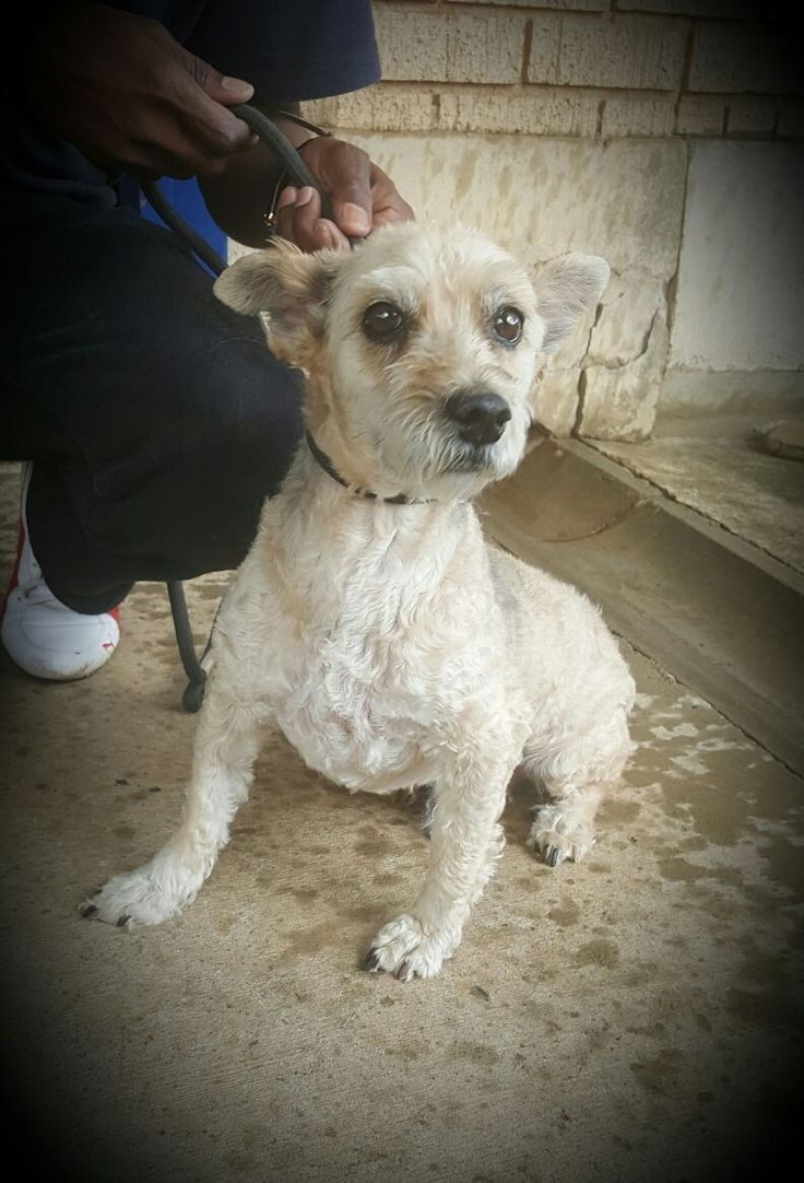 I am Fuzzy, a 10 year old maltese boy looking for a family of my own. I have lots of love to give so please come and take me home. — at Johannesburg SPCA.