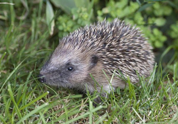 Hedgehog Voted Britain's National Species! | BHPS News