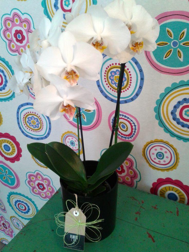 Orquídea branca + vaso cilindro preto