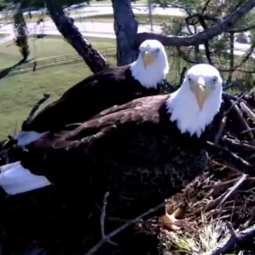 Providing 24/7 live video of an active pair of bald eagles in their nest. Viewers from around the world can watch as Harriet & Ozzie hatch & raise their young.