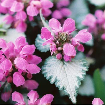 Jasnota plamista 'Beacon Silver' Lamium maculatum