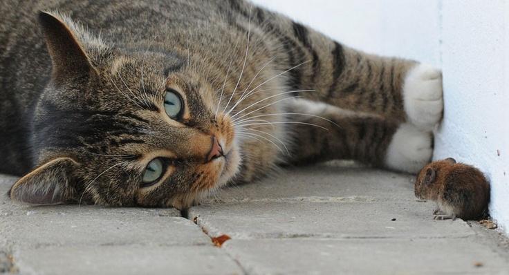 cat & mouse..: Animal Images, Cat, Friends, Poor Mice, Espéci Difer, Animal Pairings, Mouse Games, Animal Photos019 1024X693 Jpg, Foto Maravilhosa