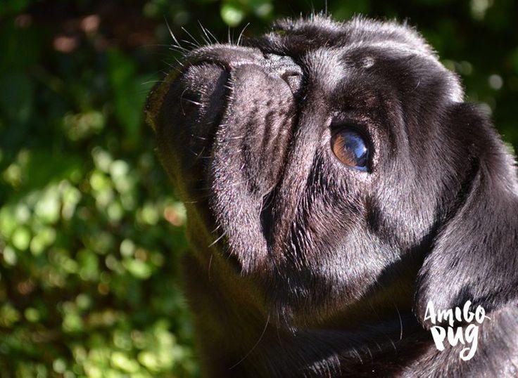 Espirro Reverso em Pugs. O que é?