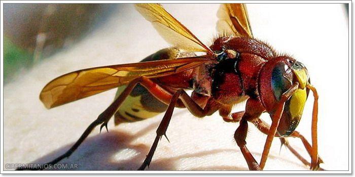 abejas asesinas - Buscar con Google