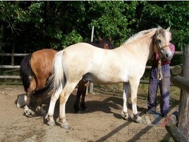 Prodám koně hucula [ql.jpg]