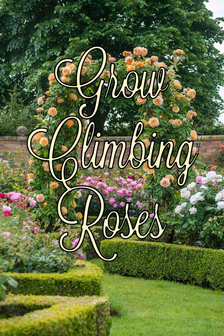 how to train a climbing roses