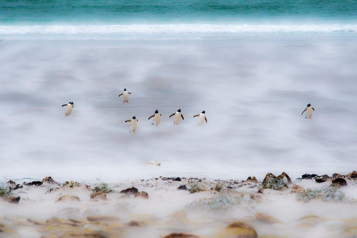 Estos pingüinos parecen sacados de alguna escena de la película 'Happy Feet' bailando sobre la arena de lo contentos que están. En realidad lo que estaban haciendo es luchar contra el viento la arena al levantarse provoca que parezcan que estén flotando.  Fot.: John Birch/The Guardian #pingüinos #penguins #saunders #isla #island #arena #sand #playa #beach