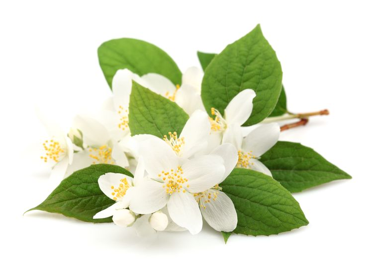 Neroli (Citrus aurantium var. amara) - Helps reduce scars, redness, irritation, beneficial for all skin types especially dry, sensitive skin and broken capillaries.  Neroli helps support  immunity, is a mood elevator & very calming..  I use neroli in Nourishe Skincare's Face Scrub, Cleansing Oil & Feminine Bliss Bath & Body Oil.  #faceoil #cleansingoil #bathoil #bodyoil #neroli #naturalskincare #skincare #nourisheskincare #hydrating #cleansing #soothing #scrub