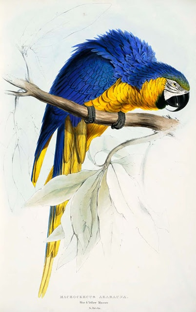 Vintage Blue and Yellow McCaw Printable for crafting