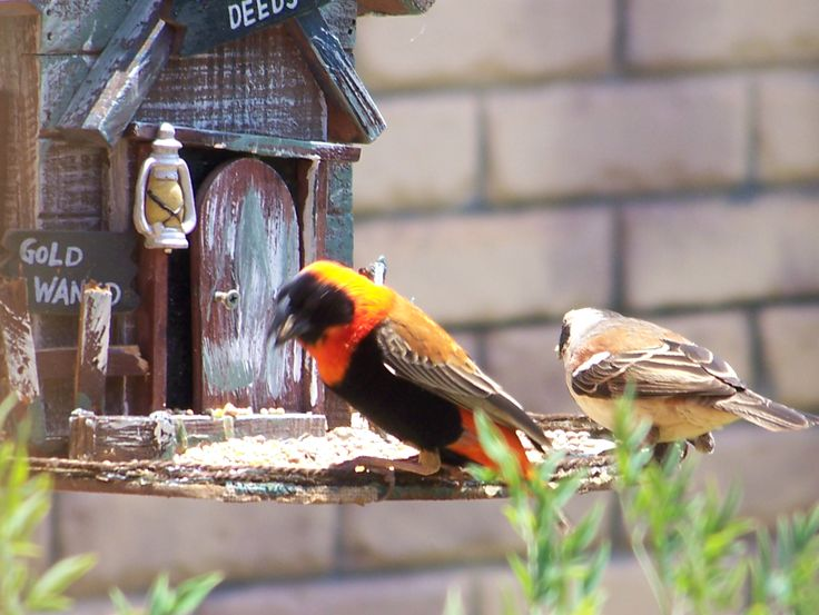 A Southern Red Bishop feeding