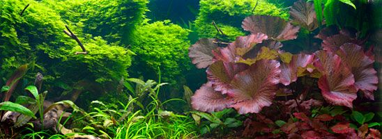 Freshwater Plants: Freshwater Aquarium Plant Species for ...