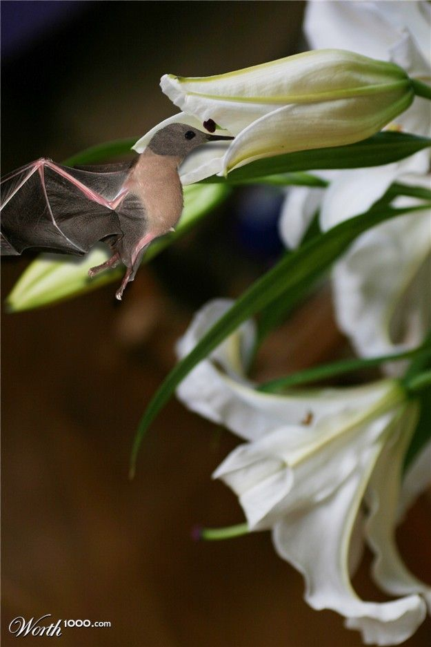 Hummingbat Worth1000