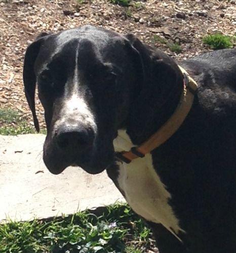 Great Dane dog for Adoption in Alexander, AR. ADN-527104 on PuppyFinder.com Gender: Male. Age: Young