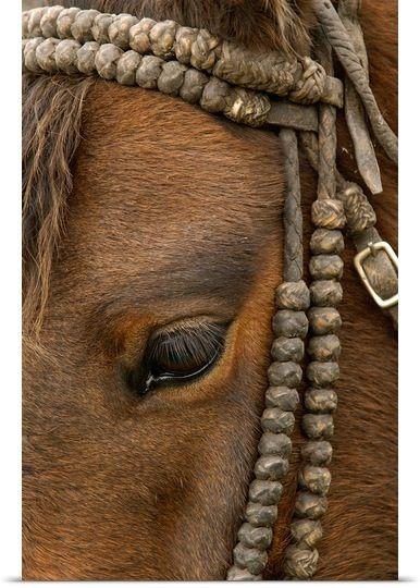 Domestic Horse, Ecuador