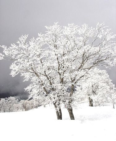 white frosted trees: Trees Shadesofwhit, Frostings Trees On, Snowy Trees, Art White, Snow Trees, White Frostings, Frostings White, Photography Art, Robert Frostings