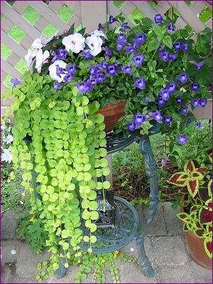 Potée d'ombre: torénias bleus, un plant d'impatientes de Nouvelle-Guinée et du lysimaque doré. Bien que ces fleurs reçoivent peu de soleil direct, elles fleurissent abondamment tout l'été sous la pergola.