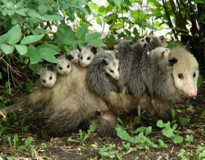 Mamma opossum e i suoi 15 piccoli tutti sulla schiena