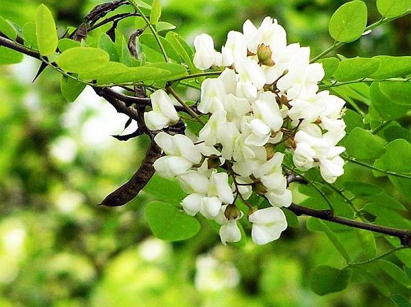 Apa din flori de salcâm, ideală pentru ten uscat | De Gen Feminin