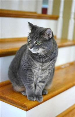 Beautiful cat needs new forever home // We are having to give up our sweet Jo-Jo since she and the dog have irreconcilable differences.   Email Beth at elizabeth.ann.flatley@gmail.com if you're interested and are in the Chicago or Milwaukee area!   Please re-pin!