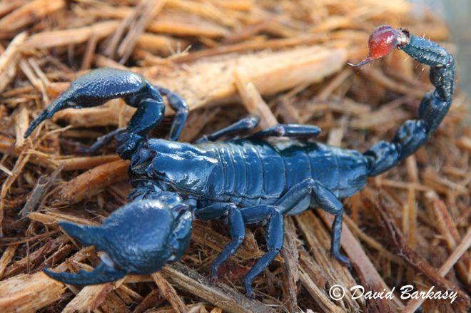 King scorpion animal - photo#55