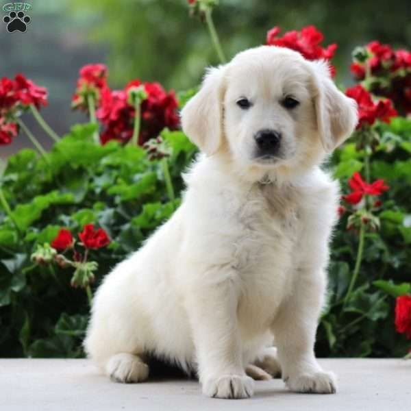 Elsie English Cream Golden Retriever Puppy For Sale In