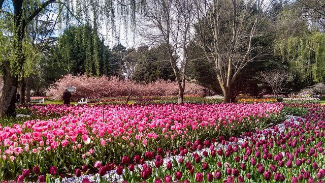 Tulip garden, Canberra, Australia