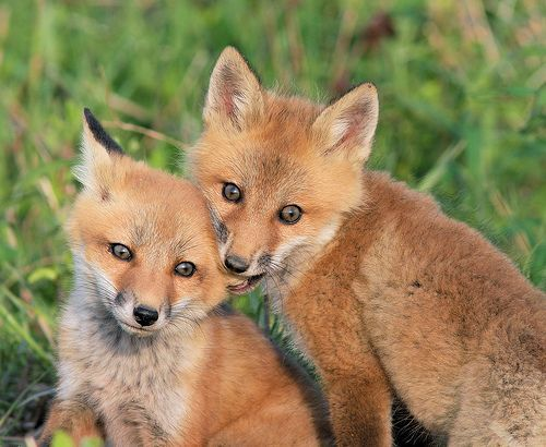 foxEars Nibbles, Dogs, Animal Baby, Wild Things, Kits Foxes, Baby Animal, Foxy, Adorable Animals3, Red Foxes