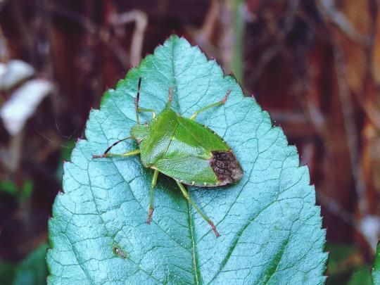 One of the types of bugs currently hanging out on the Burning Man grounds: the green stink bug. Here's how to stay bug-bite free.