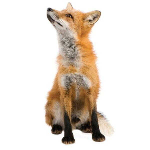 KEK Amsterdam Forest Friend Fox Wandsticker  https://www.flinders.de/kek-amsterdam-forest-friend-fox-wandsticker