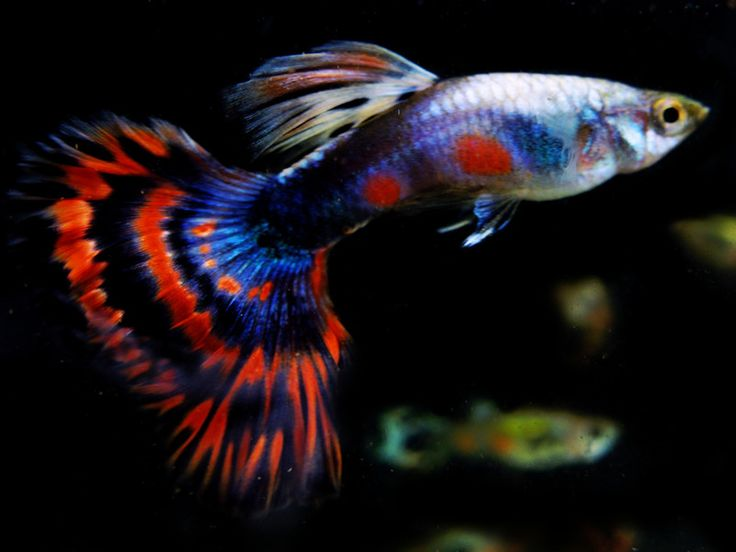 75 best guppies images on pinterest fish tanks fish for Best white fish