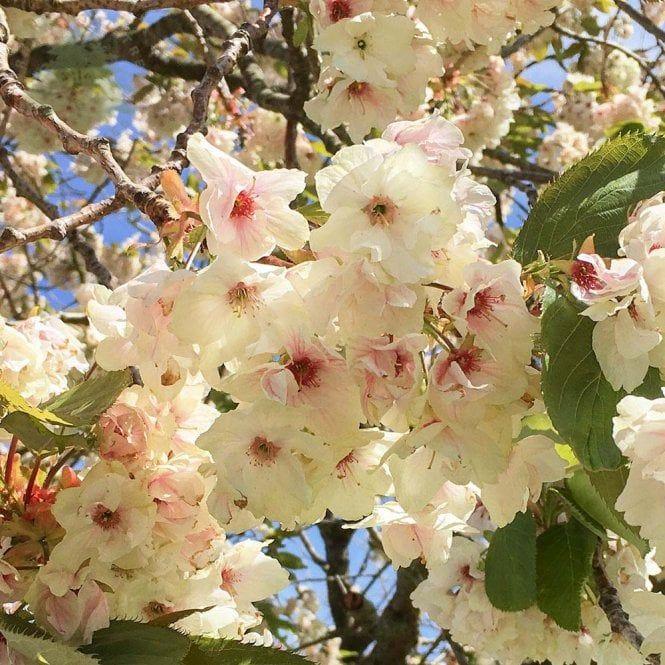 Prunus Ukon Tree Flowering Cherry Tree Japanese Cherry Tree Prunus