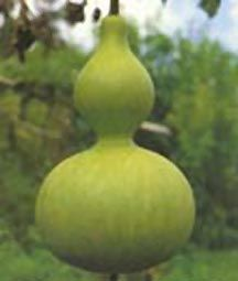 Asian Birdhouse   ( Lagenaria siceraria )  A popular gourd in Asia, it is a vigorous grower, producing a lot of gourds for birdhouses and crafting.