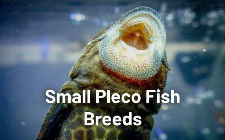 5 Small Pleco Fish Breeds Plecos That Stay Small Aquariumnexus In 2020 Pleco Fish Fish Breeding Breeds