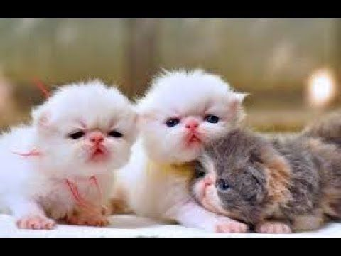 Lucu Banget Anak Kucing Persia Lagi Bermain Sendirian Mengeong Gambar Kucing Lucu Dan Imut Banget 150 Gambar Kucing Lu In 2020 Kittens Cutest Cute Cat Gif Funny Cats