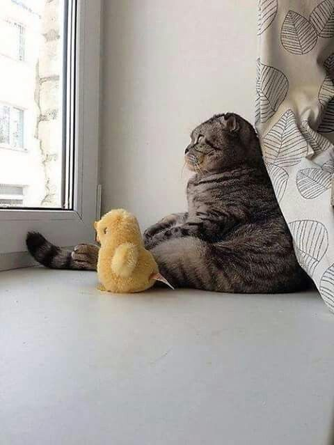 I love the way Scottish fold sit its adorable
