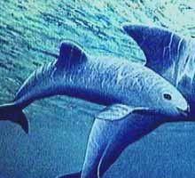 Clases del profe Carlos: Cómo llegaron las vaquitas al Golfo de California