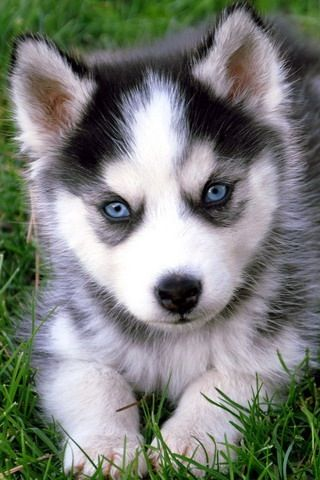 It's a baby husky!!!!! So cute!!!!