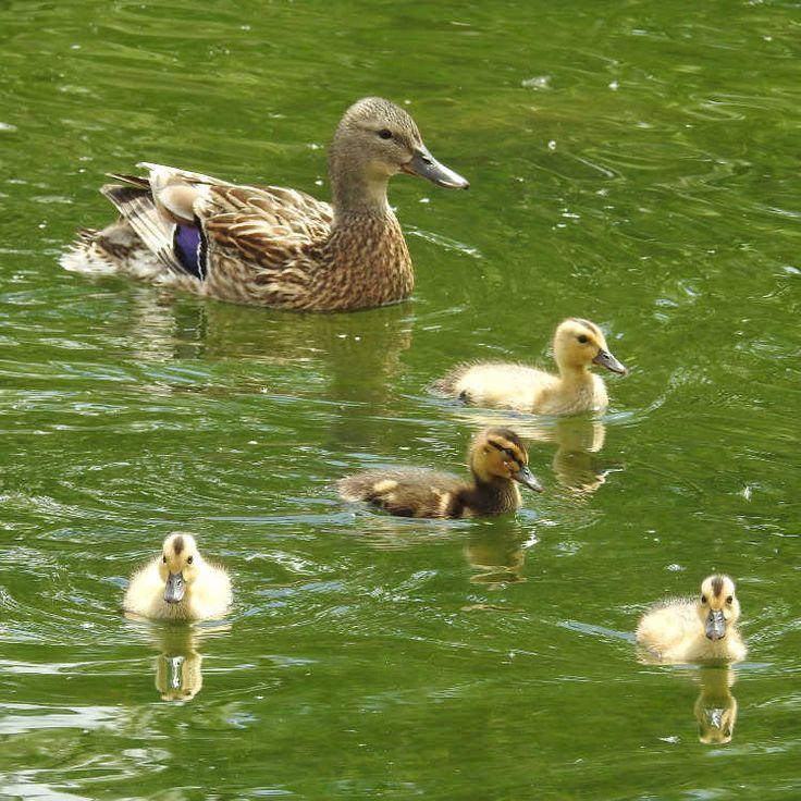 Oiseaux - Canard colvert - Anas platyrhynchos - Femelle et canetons au Parc de la Plage Bleue à Valenton