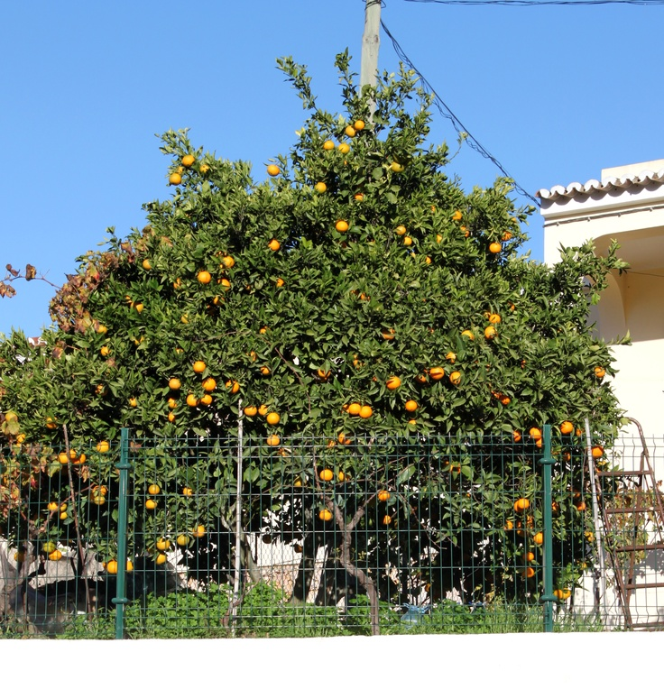 Sweet #Algarve oranges in the winter sun #carvoeiro