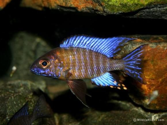 17 best images about african peacock cichlids on pinterest for Live fish direct