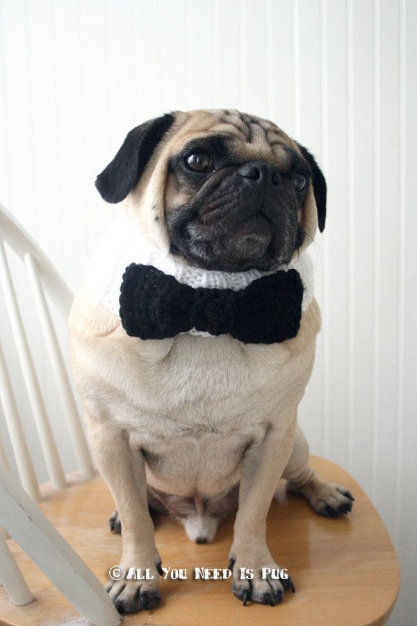 black tie affair dog collar wedding dog collar pug scarf pug