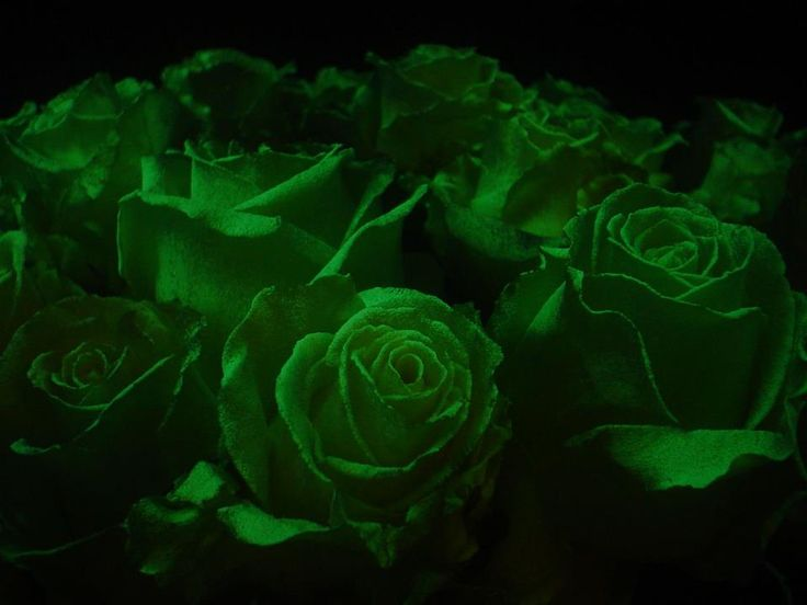 green rose black background - photo #15