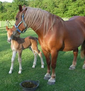 Celadine and her foal Marigold from The Working Horse Trust
