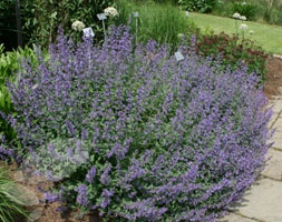 Nepeta 'Walkers low' - catnip  Violet blue flowers over a long period in summer - good for border edge