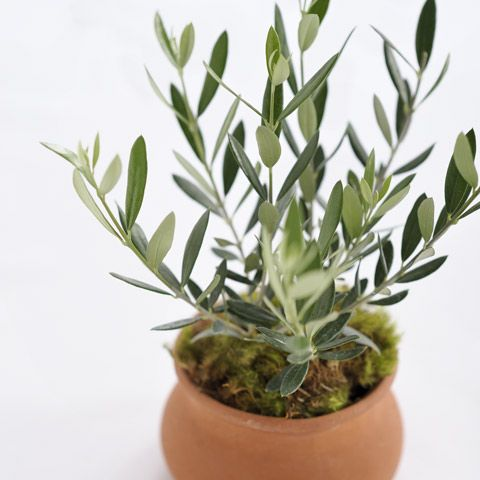 Best 25 sweet olive tree ideas on pinterest indoor for Growing olive tree indoors